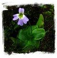 Pinguicula crystallina subsp. hirtiflora {Kelcyre, Albania}  / 2+ plants