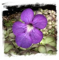 Pinguicula cyclosecta  / 2+ plants