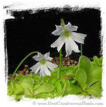 Pinguicula emarginata {almost pure white flower, Zacapoaxtla, Mex.} / 2+ plants