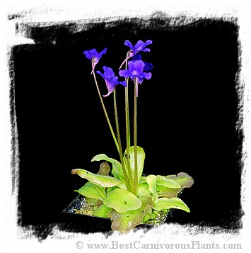 Pinguicula grandiflora {big plants, Aragnouet Fabian, France} / 1+ plants