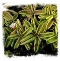 Pinguicula lusitanica {La Fleche, Sarthe, France} / 3+ plants