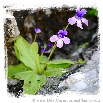 Pinguicula macroceras {Mt. Nyuto = Mt. Eboshi), Akita, Japan} / 2+ plants