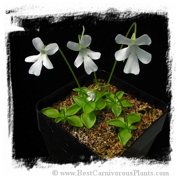 Pinguicula moranensis var. alba {pure white flower; Molango, Mexico} / 2+ plants