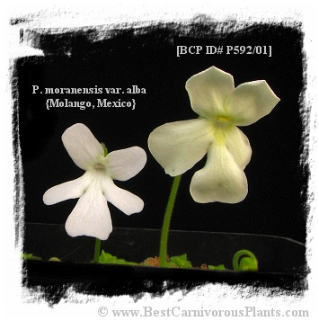 Pinguicula cv. BCP Golden Eye / 1+ plant