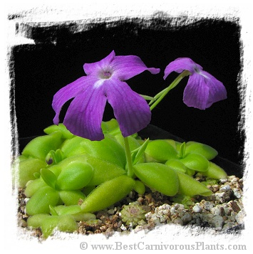 Pinguicula spec. Sumidero I. / 2+ plants