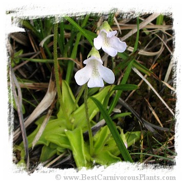 Pinguicula vulgaris {white flower, Slovakia} / 2+ plants