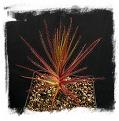 Roridula gorgonias / 5-10 cm