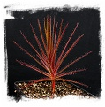 Roridula gorgonias (5 seeds)