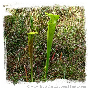 Sarracenia alata {Harrison Co., Mississippi, USA} [BCP ID# KP03] (20s)