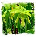 Sarracenia oreophila {R-S8A, De Kalb Co., AL, USA} / 20-30 cm
