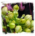 Sarracenia psittacina var. psittacina f. viridescens {Wewahitchka, FLA, USA} / 8-15 cm