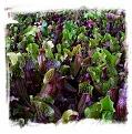 Sarracenia purpurea {Pine Barrens, Ocean Co., New Jersey, USA} (1000+ seeds)