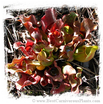 Sarracenia purpurea subsp. venosa {Green Swamp, Brunswick Co., NC, USA} [BCP ID# R-S5D] (15s)