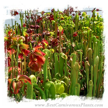Sarracenia {mix of species and hybrids} (300s)
