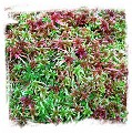 Living Red Sphagnum Moss