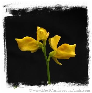 Utricularia adpressa