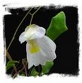 Utricularia alpina {slightly violet flower, Auyan Tepui}