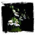 Utricularia alpina {Henry Pittier NP, Venezuela}