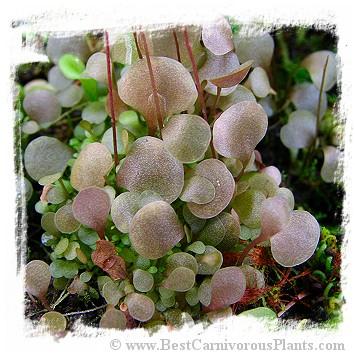 Utricularia amethystina {pink flw.}