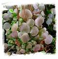 Utricularia amethystina {compact clump, smaller leafs }