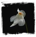 Utricularia amethystina {white flower, Auyan Tepui}