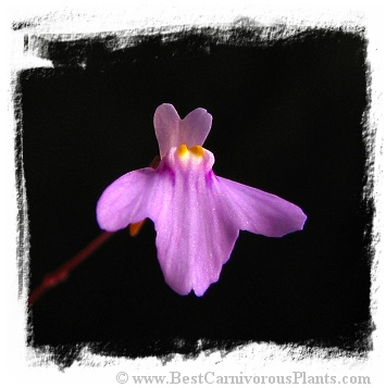 Utricularia arnhemica {Prince Regent River, Kimberley, NT, Australia}