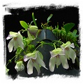 Utricularia asplundii