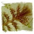 Utricularia aurea {Malaysia} / 10+ rostlin