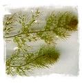 Utricularia australis var. tenuicaulis {Hiroshima, Japan} / 4+ rostlin