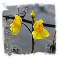 Utricularia australis {Trebon region, Czech Rep.} / 4+ rostlin