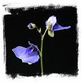 Utricularia biloba
