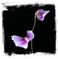Utricularia blanchetii {pink flower}