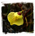 Utricularia bremii {Czech Rep.} / 5+ rostlin