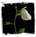 Utricularia calycifida cv. Lavinia Whateley {white flower}