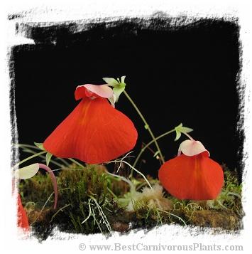 Utricularia campbelliana {Roraima, Venezuela}