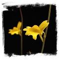 Utricularia chrysantha {Little Mertens Falls, Kimberley, WA}