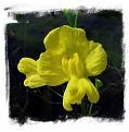 Utricularia floridana / 5+ rostlin