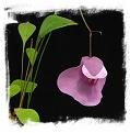 Utricularia humboldtii x U. quelchii