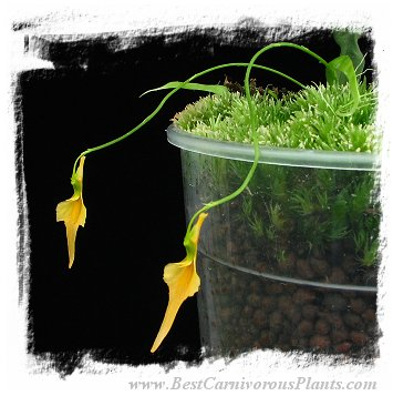 Utricularia mannii {Mt Cameroon, Cameroon, Africa}