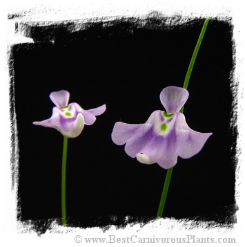 Utricularia microcalyx