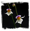 Utricularia blanchetii {white flower, Chapada Diamantina, Bahia, Brazil}