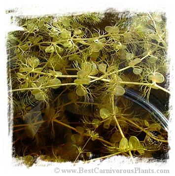 Utricularia reflexa {Okavango Swamp, Botswana} / 5+ plants