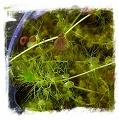 Utricularia reflexa {huge traps, Zambia} / 5+ plants