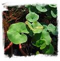 Utricularia cornigera {type specimen}