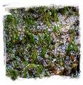 Utricularia resupinata {Florida, USA} / 1 clump