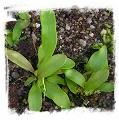 Utricularia aff. longifolia {Diamantina, Brazil}